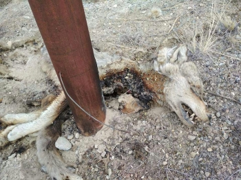 Four Tibetan foxes, one Himalayan wolf die of electrocution in Wanla